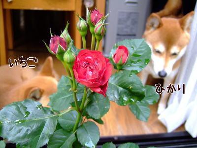 薔薇とひかいち