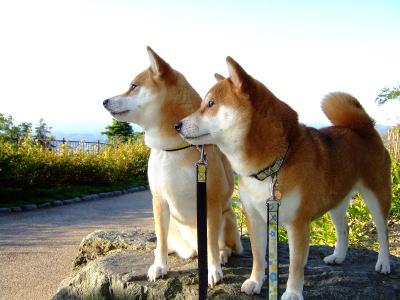 ザ・日本犬の横顔