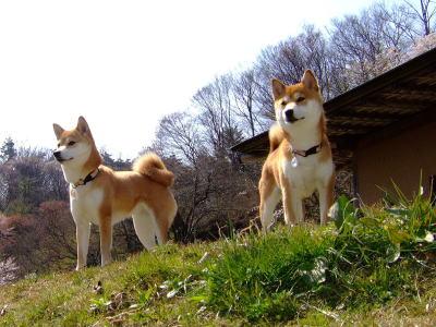 キリリ日本犬~★