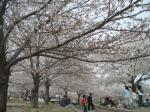 Sakura_MizuoPark.jpg