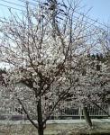 これは住宅の駐車場の桜。