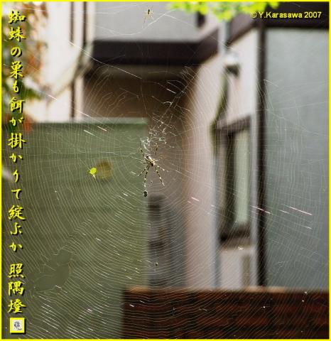 1109女郎蜘蛛