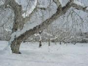 snowtree.jpg