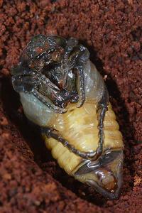 アオアシナガハナムグリ蛹