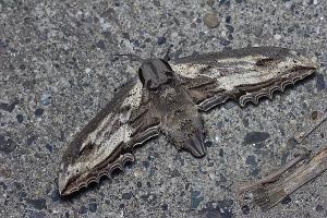 オオシモフリスズメ♀