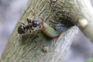 ウラゴマダラシジミ幼虫
