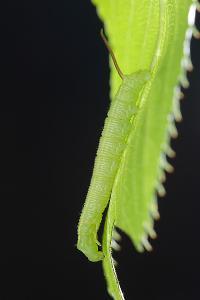 オオシモフリスズメ1齢幼虫