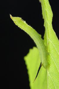 オオシモフリスズメ2齢幼虫
