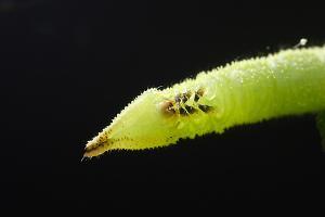 オオシモフリスズメ2齢幼虫顔アップ