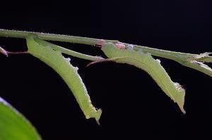 オオシモフリスズメ幼虫ニ齢と三齢