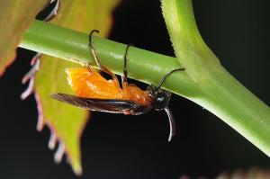 チュウレンジバチ