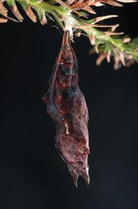 ルリタテハ蛹