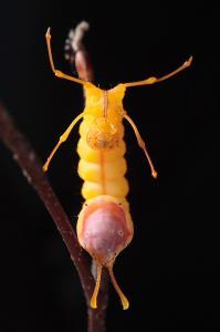 シロシャチホコ幼虫