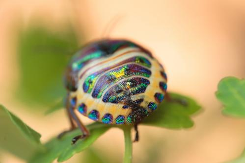 ミカンキンカメムシ5齢若虫