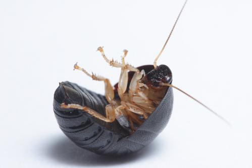 ヒメマルゴキブリ