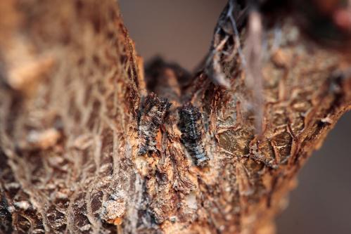 オオミスジ越冬幼虫
