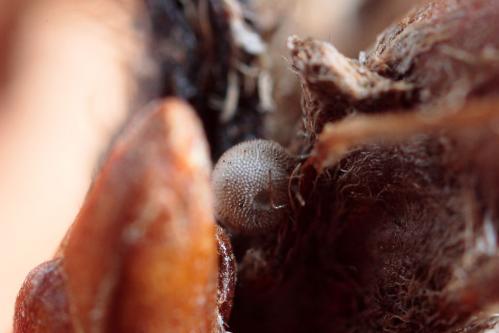 ハヤシミドリシジミ?越冬卵