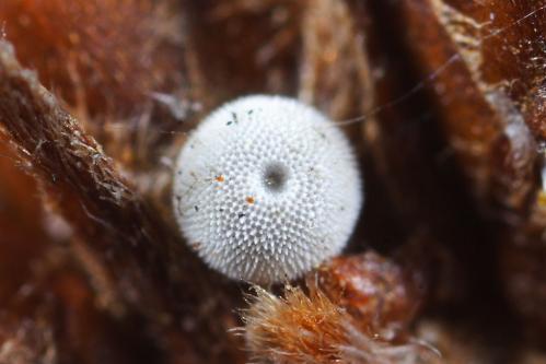ジョウザンミドリシジミ?越冬卵