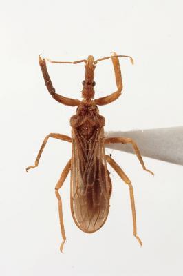 ヒメクビナガカメムシ成虫