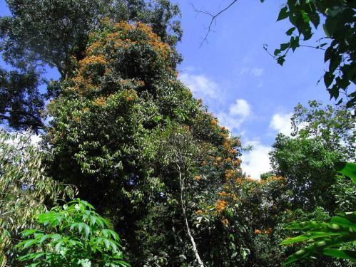トリバネの木