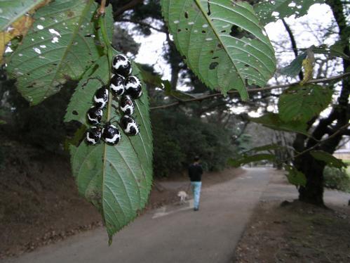 アカスジキンカメムシ終齢若虫