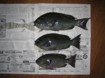 クロダイ(2007年1月21日 佐多岬灯台下にて)
