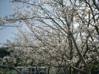 満開の桜 2007.4.4
