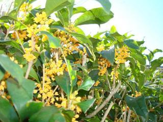 キンモクセイの花 2007.10.27