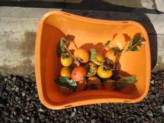 収穫した柿の実です 2007.10.27