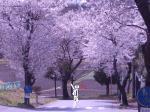 宇都宮・清原台の桜