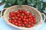 ミニトマトの収穫始まる