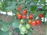 ミニトマトの収穫と出荷始まる