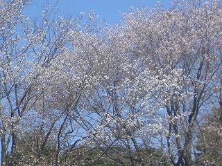 咲いてた桜