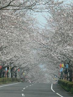 桜 満開331