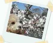 桜とさくら43