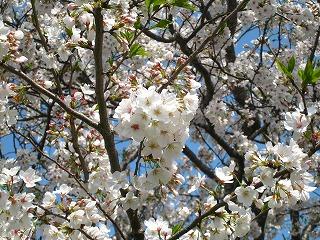 桜43-2