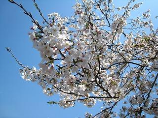 桜43-3