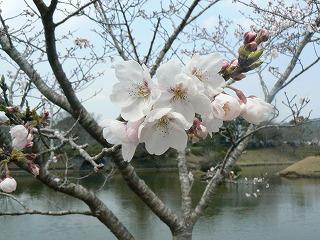 桜328-1