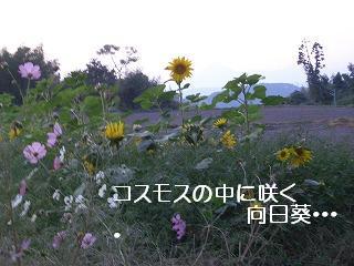 コスモスと向日葵