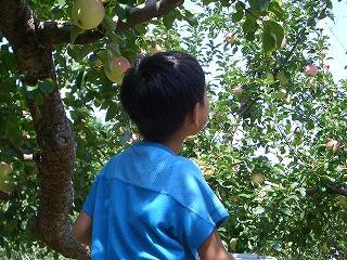 リンゴ園①