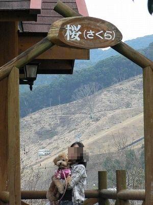 桜(さくら)