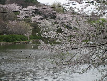 桜@三ツ池公園