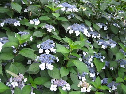 紫陽花が綺麗です・・・