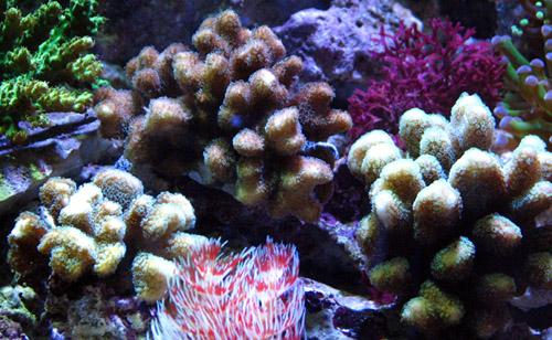 ショウガサンゴ