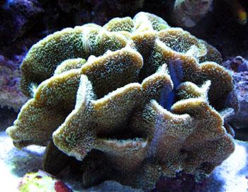 シコロサンゴ