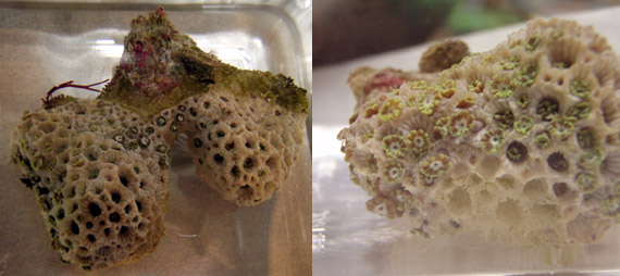 アワサンゴブランチの骨格