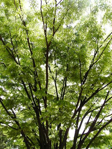 鶴舞公園の木