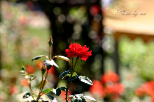 赤いバラ一輪