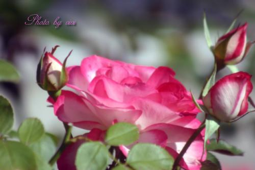 ピンク色のばら