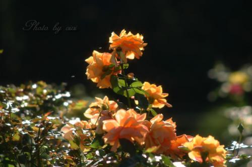 オレンジの薔薇